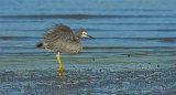 White faced heron 0059
