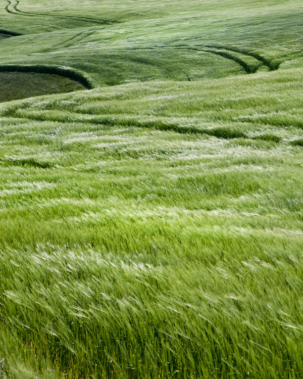 Barley Field Gusts