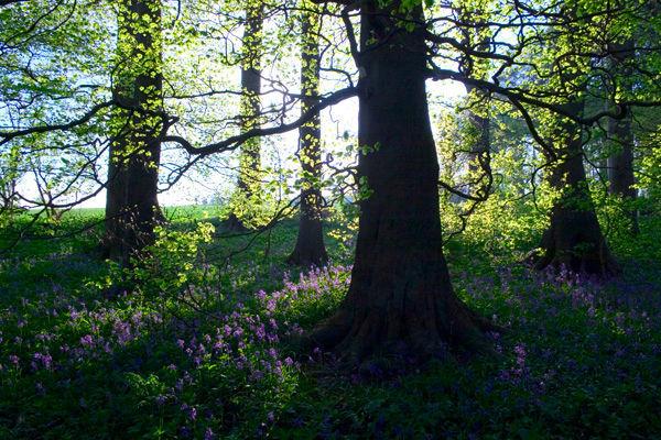 Beech Trees & Bluebells
