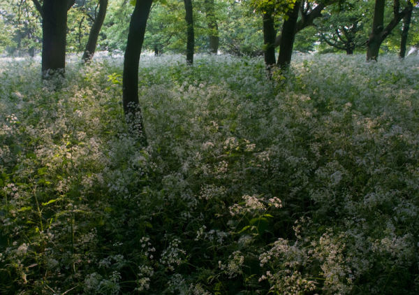 Evening Cow Parsley