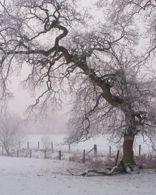 The Little Oak