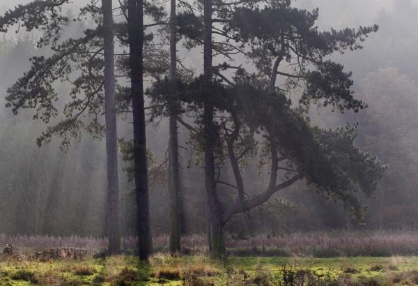 Londesborough Pines