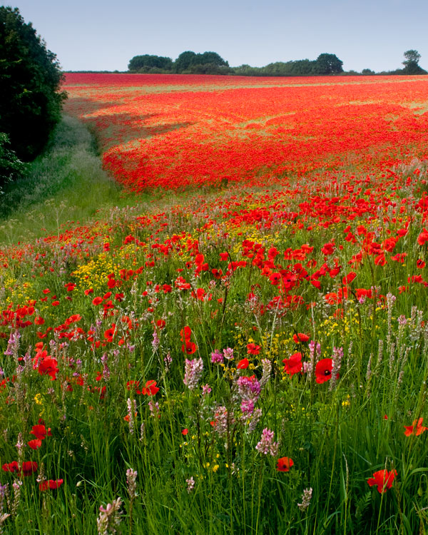 Wolds Wild Flowers