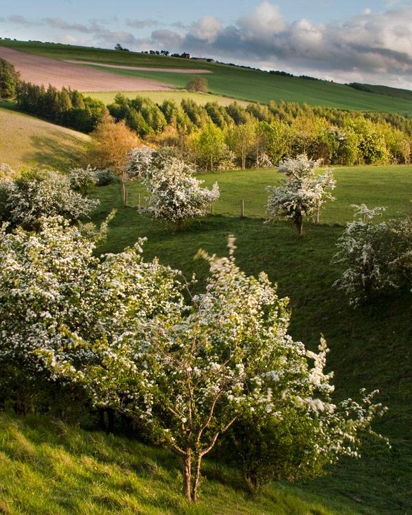 Sunlit Hawthorns