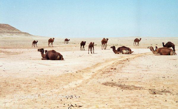 Camels, Western Desert