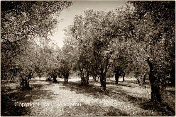 Olive Orchard, Naxos, Greece