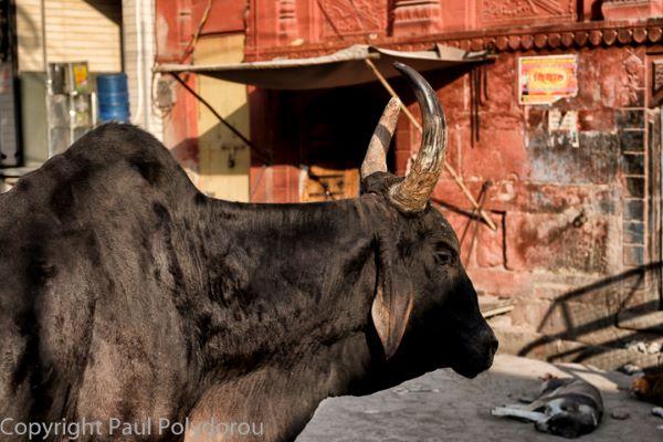 Street Roaming Cow