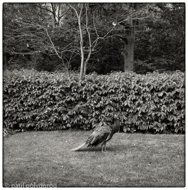 Peacock - Holland Park