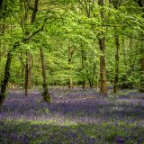 Wick Hill Bluebells