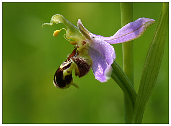 Bee Orchid Up Close