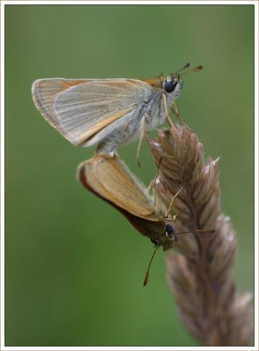 Essex Skipper Mating