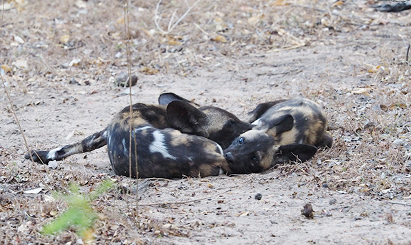 Painted dogs playing