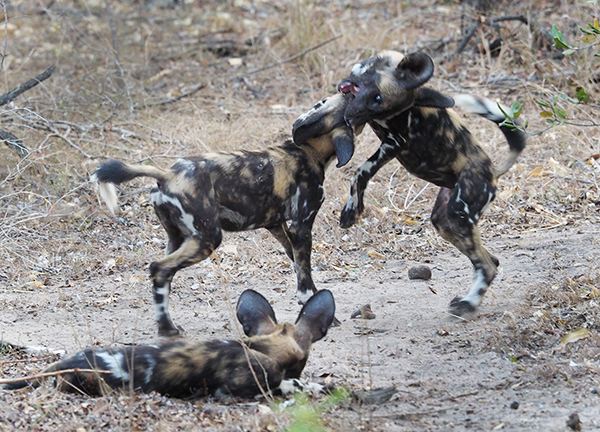 Juvenile Painted Dogs playing