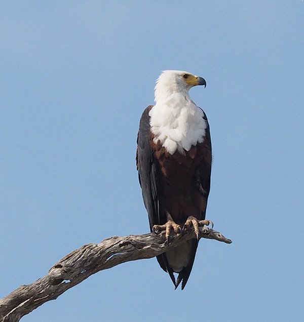 Fish Eagle  just one of the amazing bird species we saw