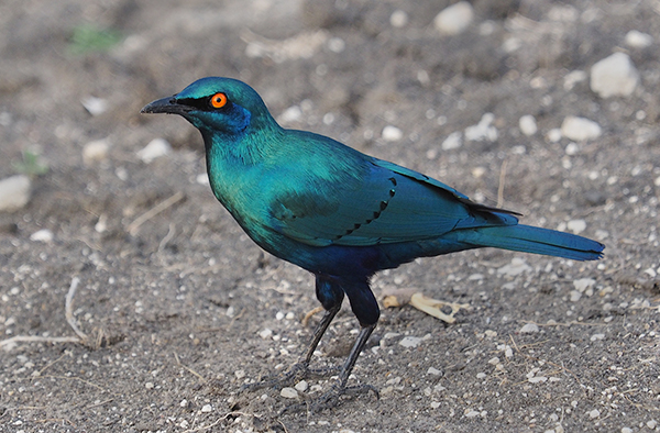 Greater blue eared glossy starling