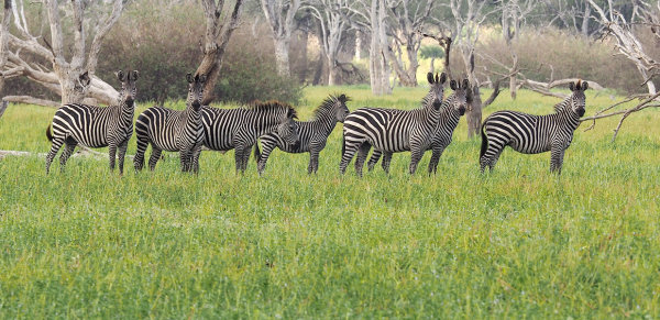 Our First Sighting of Zebra