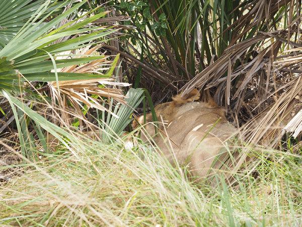 Taken the kill into a bush