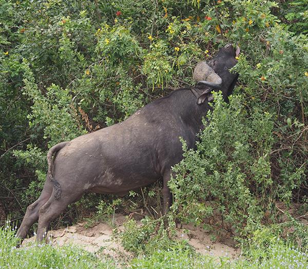 Water Buffalo Feeding