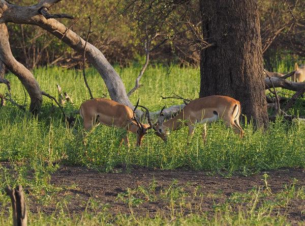 Sparing Impala