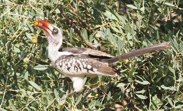 Ruaha Red Billed Hornbill