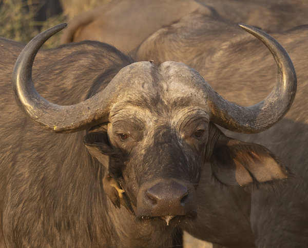 water Buffalo with Oxpecker