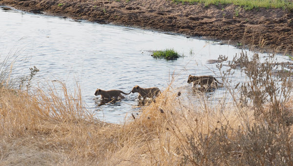 Cubs crossing the river