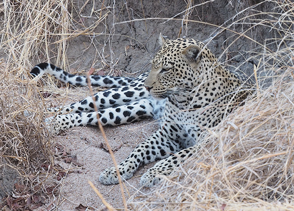Leopard hiding in dried up stream bed