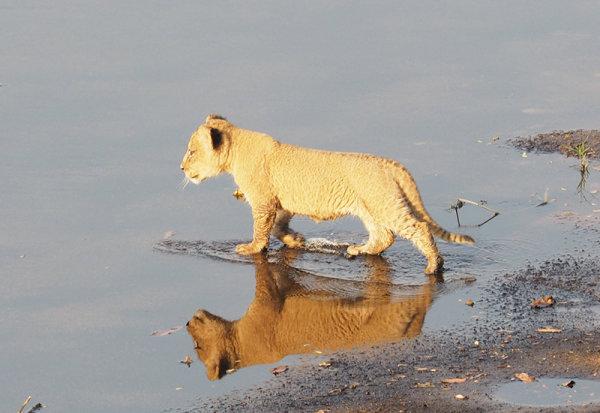 Cub crossing river