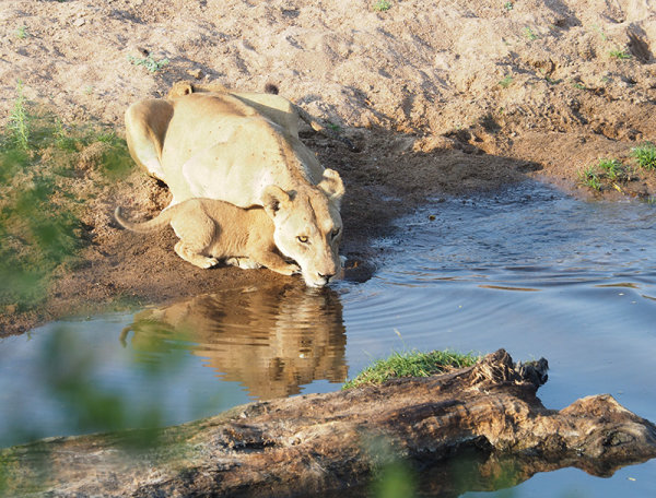 Lioness drinking with cub