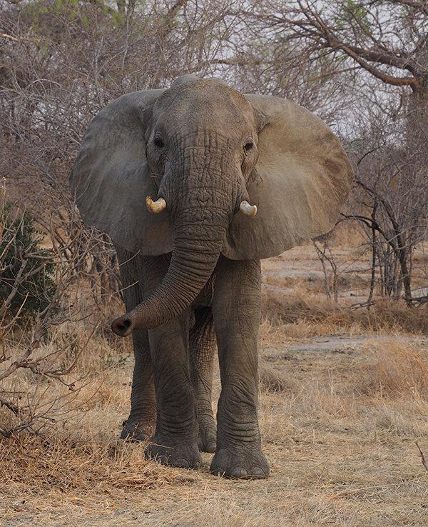 Elephant smelling us