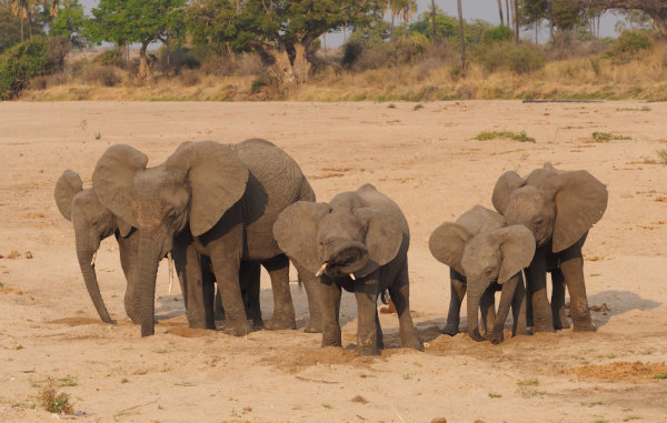 Elephant family digging for water