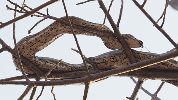 Python up a tree digesting meal ( 5 weeks in)