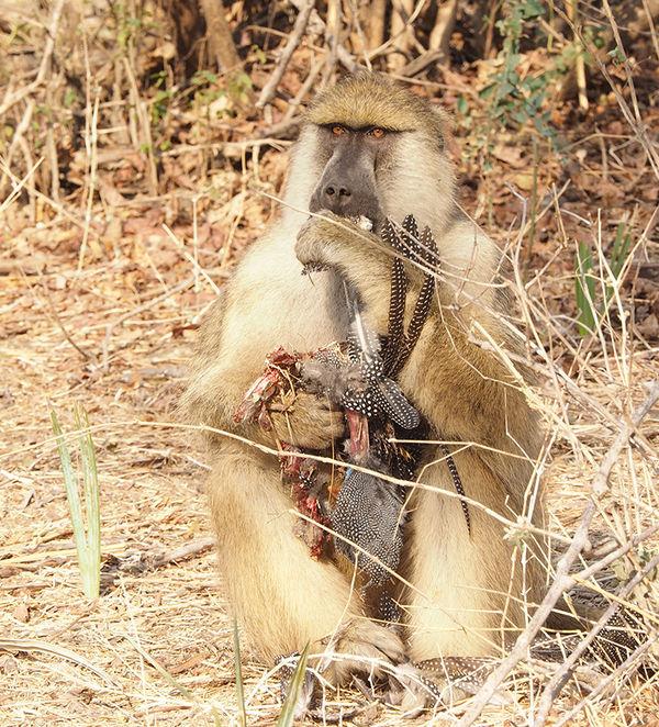 Baboon eating guineafowl