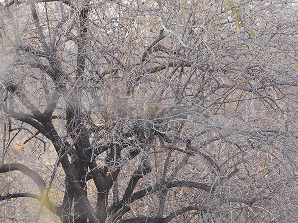 Find the Leopard cub