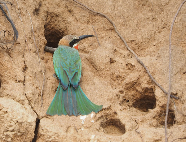 Bee Eater by nest hole