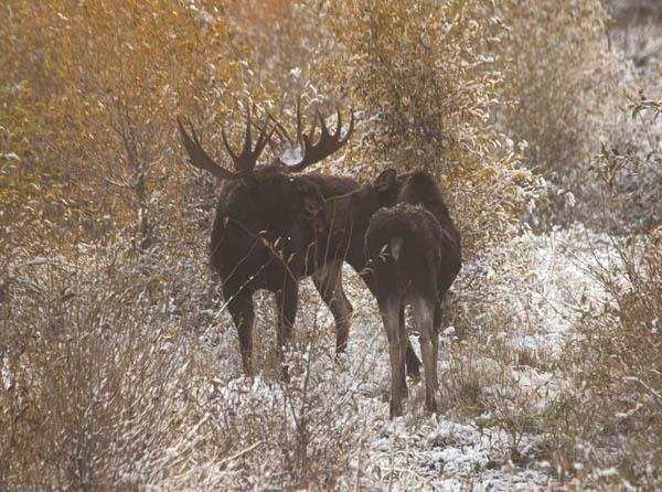 Loving Moose