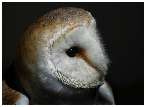 Barn Owl (*)