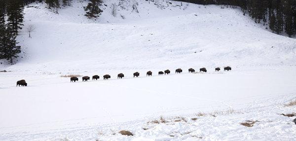 Line of Bison