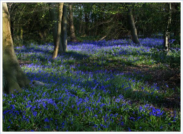 Bluebell Wood 1