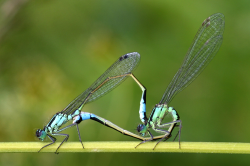 Mating Common Blue Damselfly