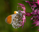 Orange Tip on Ragged Robin