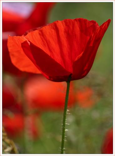 Poppy (*)