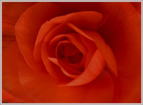 Red Begonia (*)
