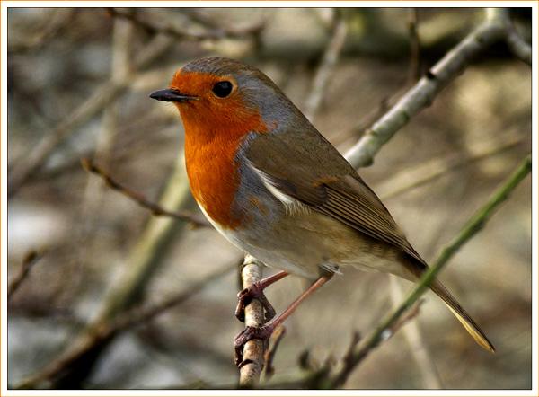 Shirley's Winter Robin
