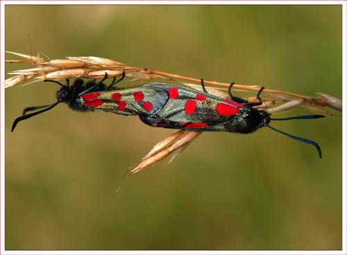 Six spot burnett moth mating