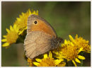 Small Heath Feeding