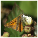 Small Skipper Feeding