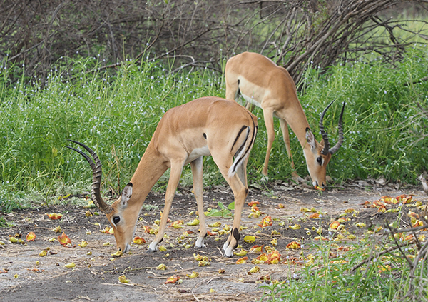 Impala eating flowers from sausage tree