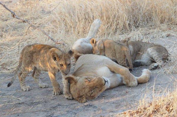 Cubs Suckling