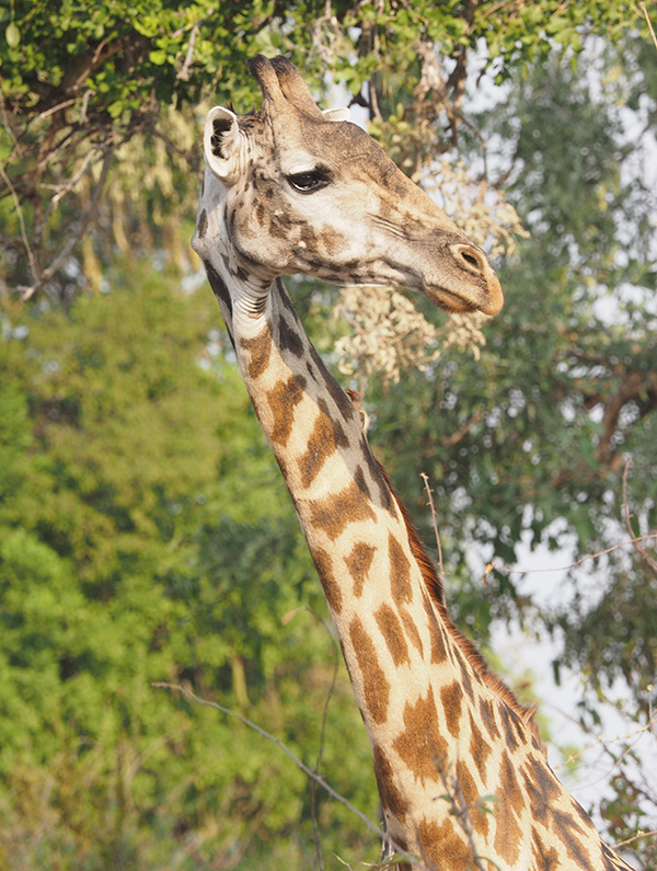 There were lots of Giraffe